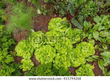 vegetable garden with leaf vegetables