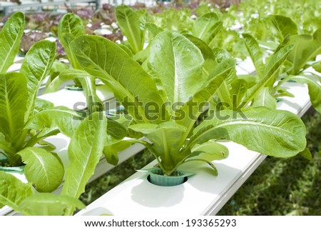 Vegetable grown in a hydroponic system