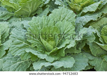 vegetable in field - stock photo
