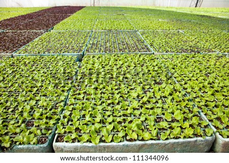Vegetable plants in a greenhouse