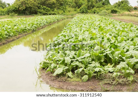 Vegetable plot of green pakchoi cabbage  - stock photo