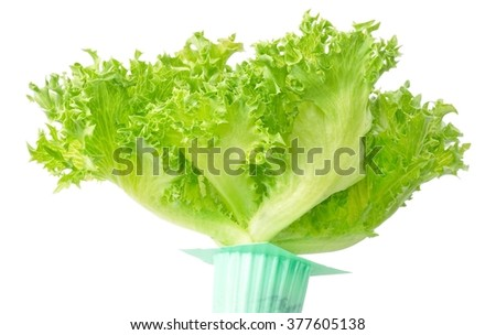 Vegetable, Pot of Fresh Green Oak Leaves Lettuce Isolated on A White Background. - stock photo