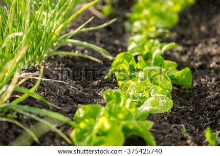Vegetable rows with lawn sprinkler on a sunny spring day, shallow depth of view, focus on the center of row of spinach - stock photo