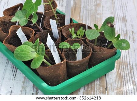 vegetable seedling in biodegradable pots - stock photo