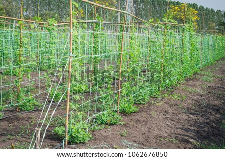 Vegetable,young String Beans,long Bean Plant,Vegetable Garden Cover With  The Net