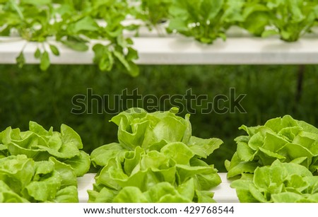 Vegetables and hydroponics cultivation in greenhouses.