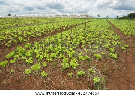 vegetables field with blue sky