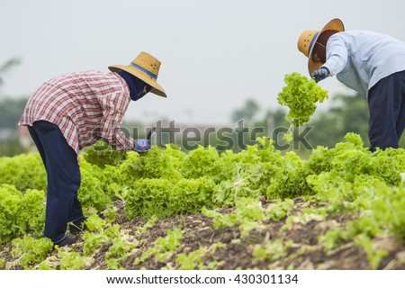 Vegetables field with rural farmer working background - stock photo