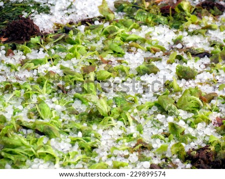 Vegetables (green salad) destroyed by hail - stock photo