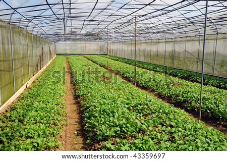 Vegetables Growing In  Covered Shed