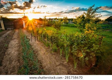 Vegetables Growing In Raised Beds In Vegetable Garden, - stock photo
