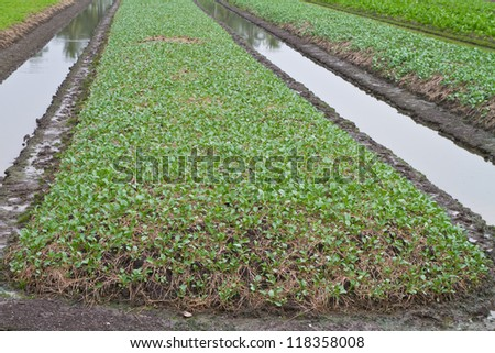 Vegetables growing on a field