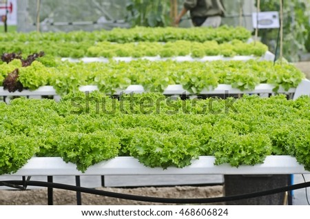 Vegetables hydroponic farm