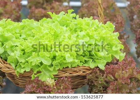 Vegetables in Basket of hydroponic vegetable farm