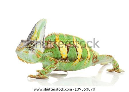 Veiled Chameleon (Chamaeleo calyptratus) isolated on white background. - stock photo