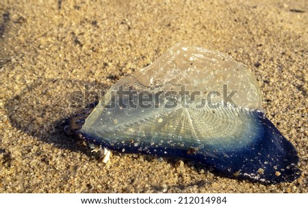 Velella velella pleuston (or Purple Sail) stranded on ocean beach - stock photo