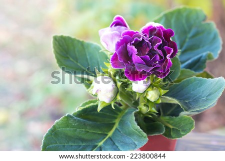 Velvet Gloxinia flower in a flower pot.  - stock photo