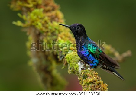 Velvet-purple Coronet, Boissonneaua jardini, dark blue and black hummingbird sitting on green lichen branch in the tropical forest, beautiful glossy and glittering bird in the nature habitat, Ecuador  - stock photo