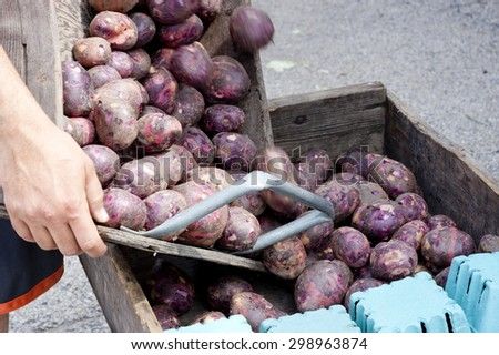 Vendor Adding Purple Potatoes to Bin at Farmer's Market