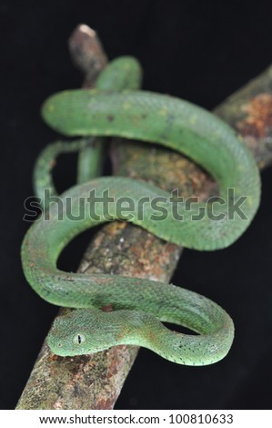 Venomous green viper on a branch in Ghana.
