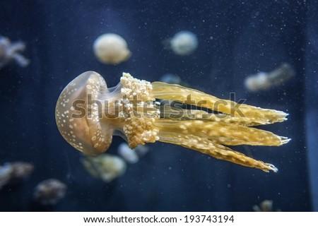 venomous Jelly fish/Jelly fish/Red Sea,Egypt - stock photo