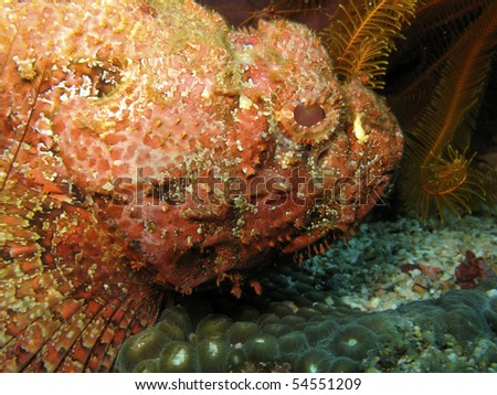 Venomous scorpionfish (Scorpaenidae) near the island of Dominica - stock photo