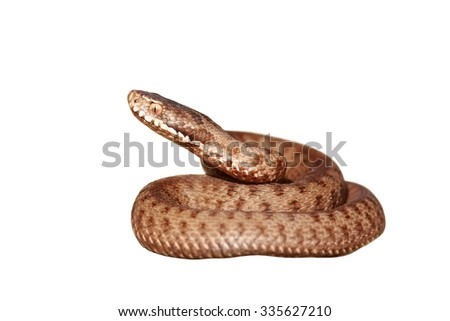 venomous snake isolated over white background, full length ( common european adder, Vipera berus ) - stock photo