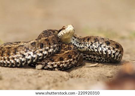 venomous snake ready to attack, meadow adder ( Vipera ursinii rakosiensis ), endangered species - stock photo