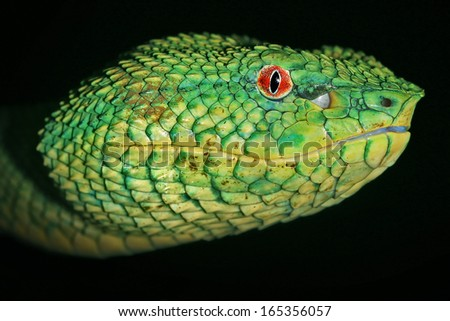 Venomous Wagler's Green Tree Pit Viper (Tropidolaemus wagleri) looks at camera with bright red eyes in Borneo jungle. AKA Temple Viper because of abundance around Temple of the Azure Cloud in Malaysia