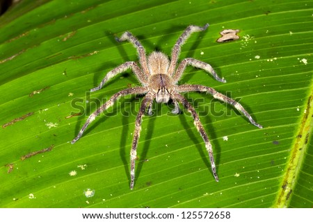 Venomous wandering spider (Phoneutria fera) sitting on a heliconia leaf in the rainforest, Ecuador - stock photo