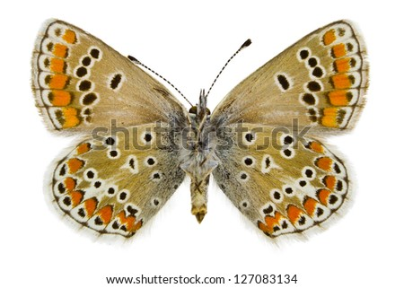 Ventral view Aricia agestis (Brown Argus) of   butterfly isolated on white background.
