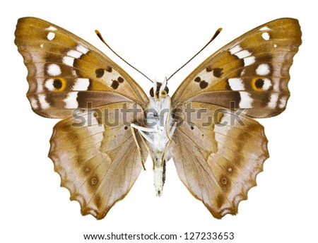 Ventral view of Aglais ilia (Lesser Purple Emperor) butterfly isolated on white background.