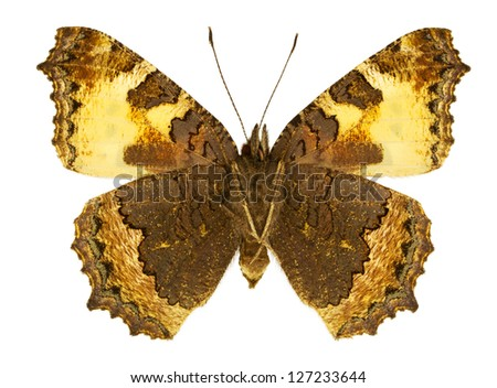 Ventral view of Aglais urticae (Small Tortoiseshell) butterfly isolated on white background. - stock photo