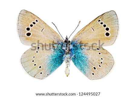 Ventral view of Glaucopsyche alexis (Green-underside Blue) butterfly isolated on white background.
