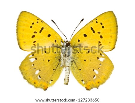 Ventral view of Lycaena virgaureae (Scarce Copper) butterfly isolated on white background. - stock photo