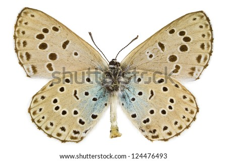 Ventral view of Phengaris arion (Large Blue) butterfly isolated on white background.
