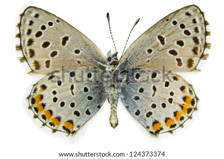 Ventral view of Pseudophilotes baton (Baton Blue) butterfly isolated on white background.