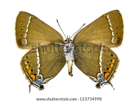 Ventral view of Satyrium spini (Blue-spot Hairstreak) butterfly isolated on white background. - stock photo