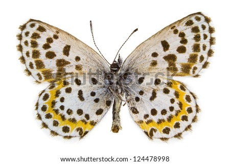 Ventral view of Scolitantides orion (Chequered Blue) butterfly isolated on white background. - stock photo