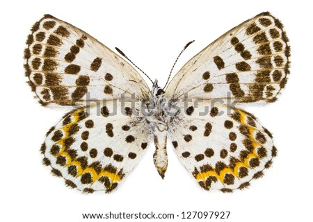 Ventral view of Scolitantides orion (Chequered Blue) butterfly isolated on white background.