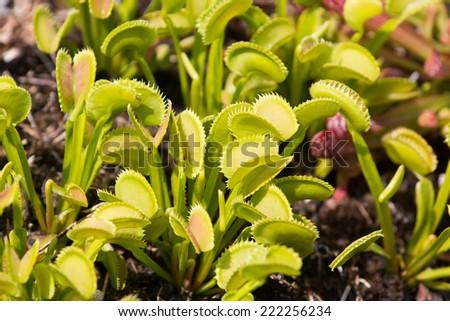 Venus Flytrap, Dionaea muscipula - stock photo