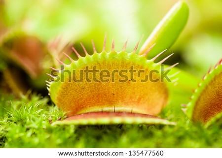 Venus flytrap leaf (dionaea muscipula), close-up view, shallow dof. - stock photo
