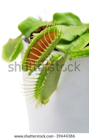 Venus flytrap on white background - stock photo
