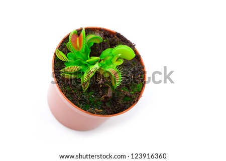 Venus flytrap plant (dionaea muscipula) in a pot, on white background. - stock photo