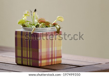 Venus flytrap plant (dionaea muscipula) in a square pot on wooden table. - stock photo