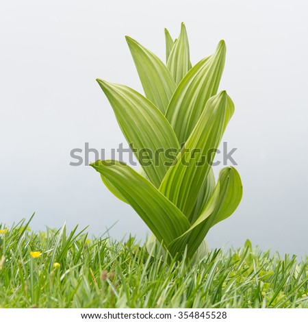 Veratrum album toxic plant in a mountain meadow