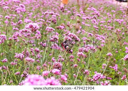 Verbena bonariensis with butterfly.