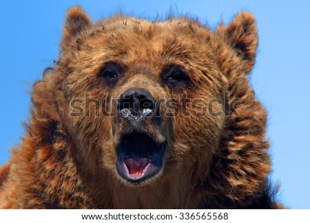 VERESEGYHAZ - JULY 11 : Brown bear wolf on 11 July2015. Veresegyhaz, Hungary. Brown bear is very rare in Hungary so it is a protected species of animal.