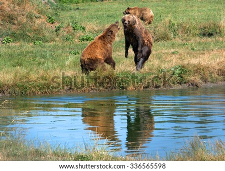 VERESEGYHAZ - JULY 11 : Brown bear wolf on 11 July2015. Veresegyhaz, Hungary. Brown bear is very rare in Hungary so it is a protected species of animal. - stock photo