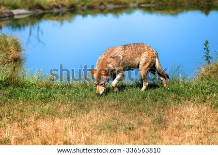 VERESEGYHAZ - JULY 11 : Grey wolf on 11 July2015. Veresegyhaz, Hungary. Grey wolf is very rare in Hungary so it is a protected species of animal. - stock photo